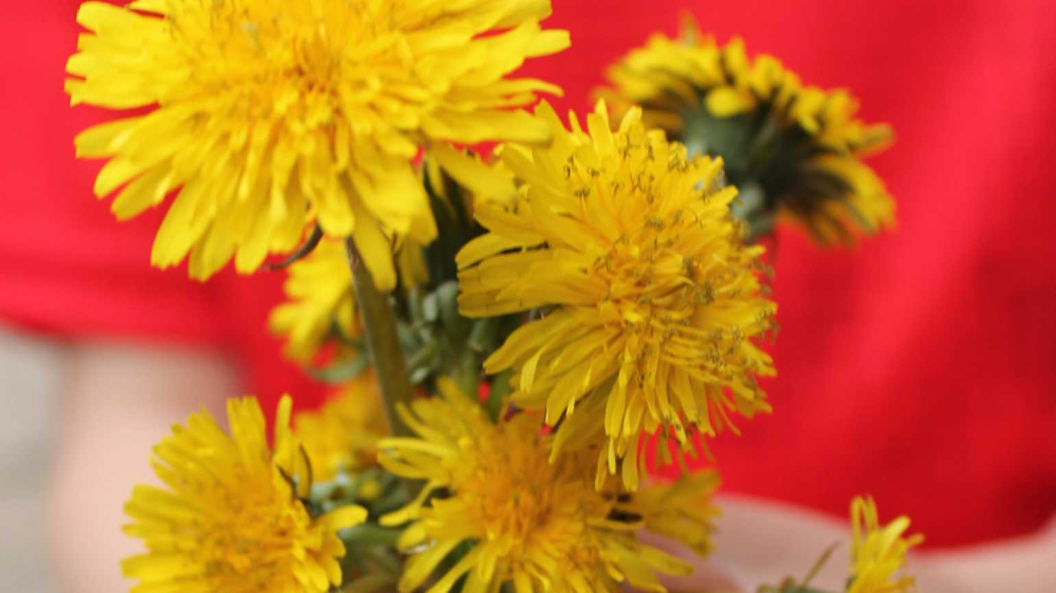 A bouquet of dandelions picked by her son for Shawnelle Eliasen