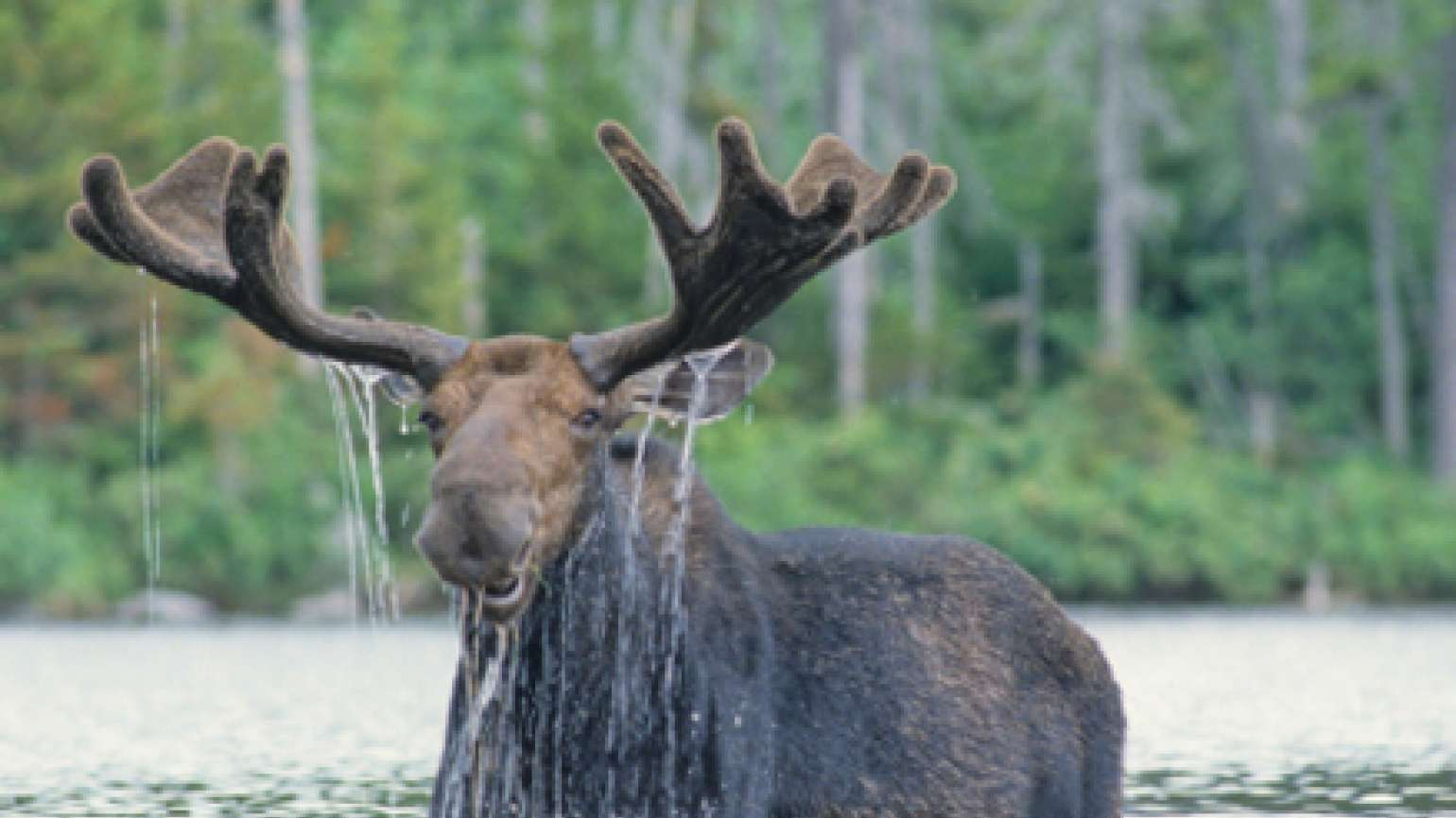 moose in a river