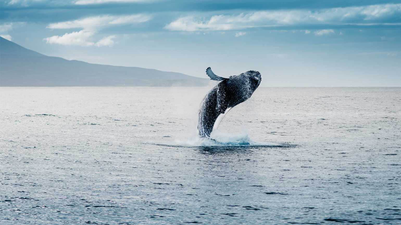 A majestic whale in emerges from the ocean