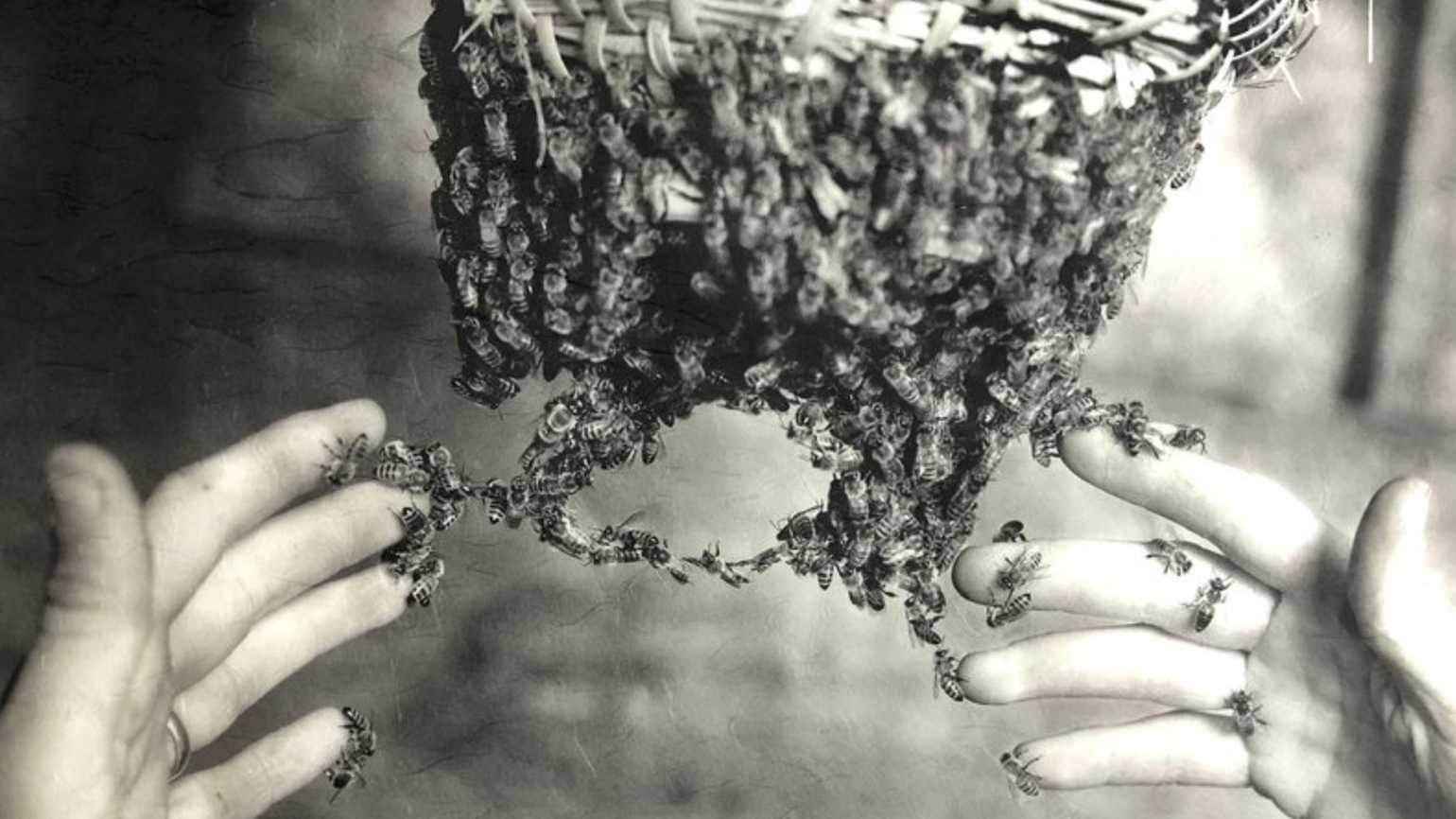 A black and white photo of a beekeeper's hands handling a hive of bees.