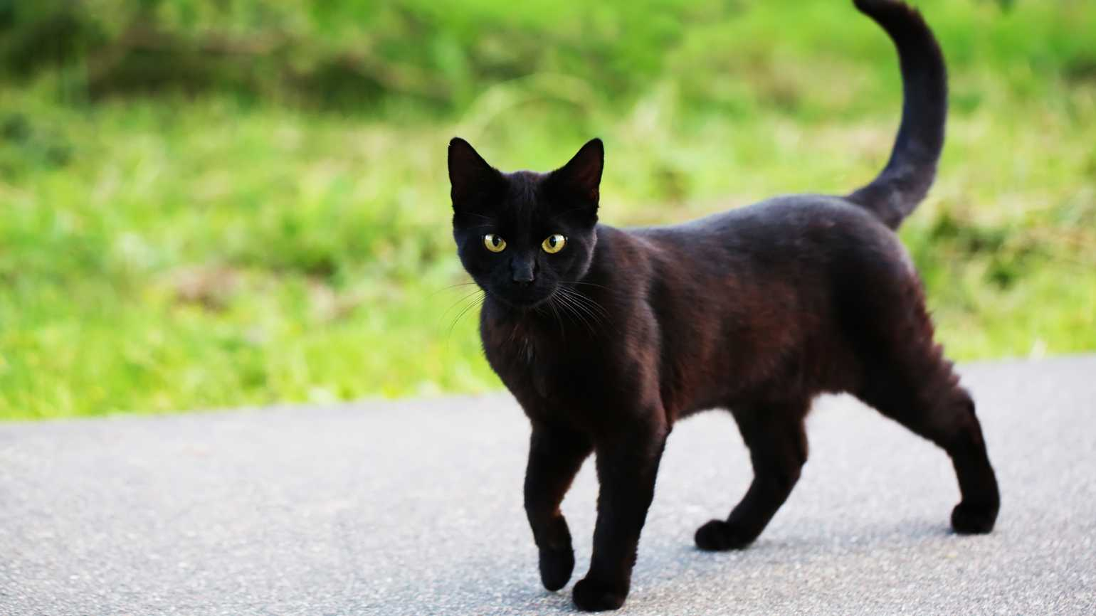 A black cat strolling outside.