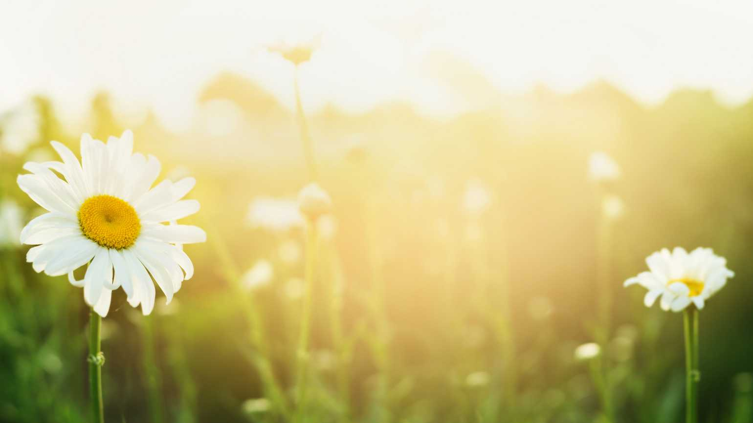 A field of blooming daisies underneath warm sunlight.