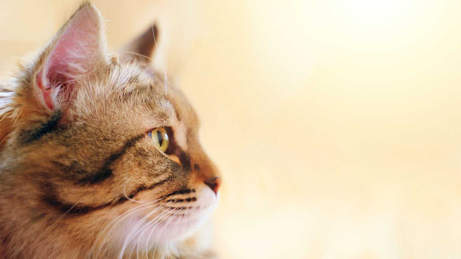 A close up of a cat's side profile; Getty Images