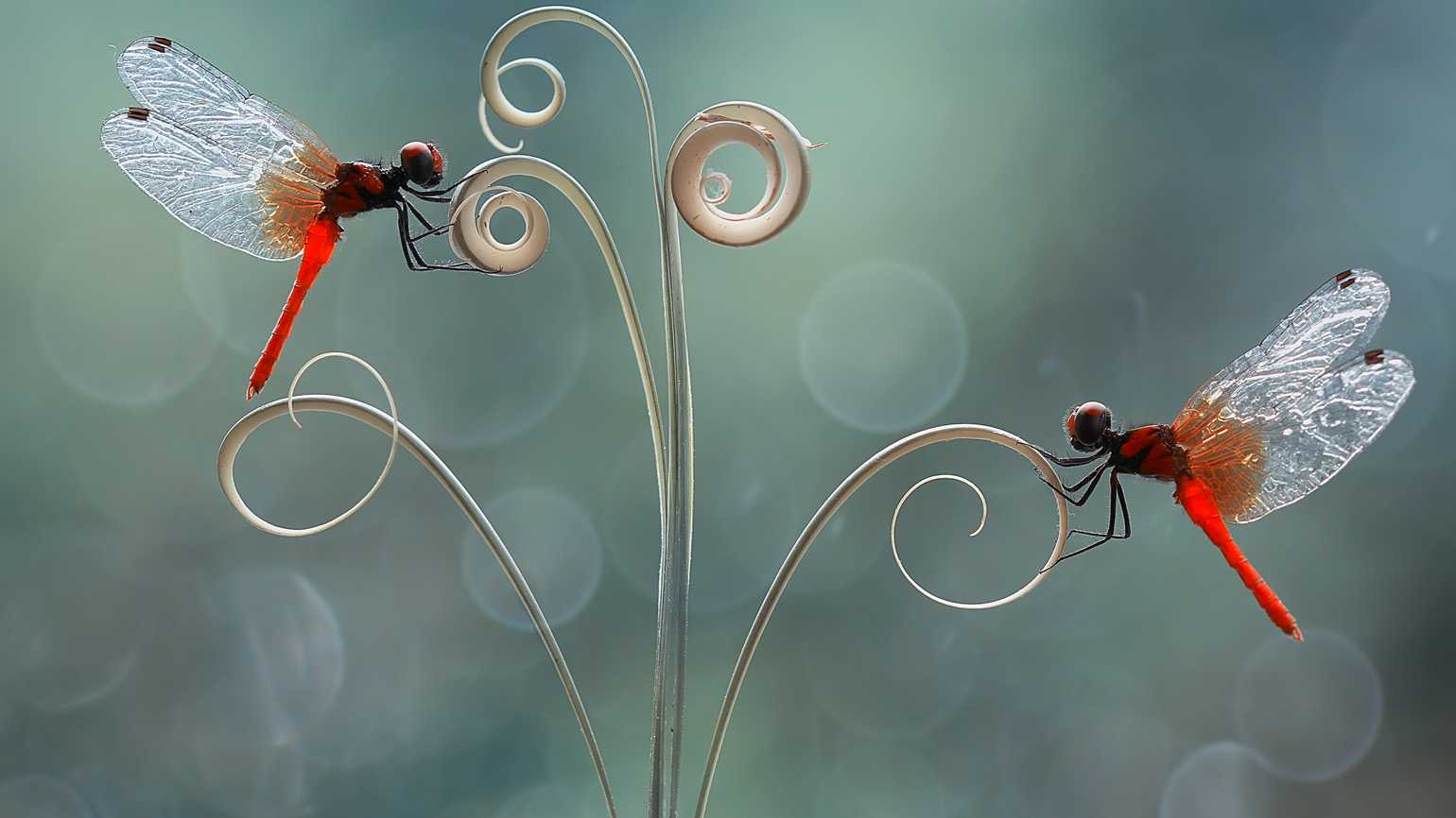 A pair of red dragonflies/ Photo credit: Eyeem/Getty Images