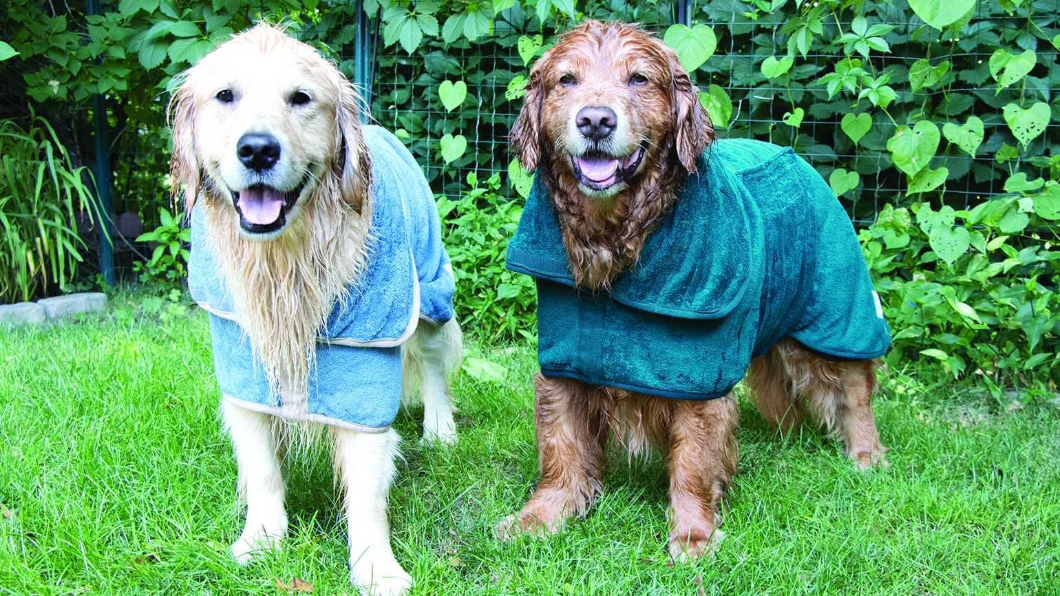Two golden retrievers wearing warming sweaters