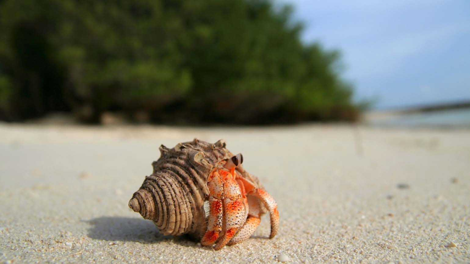 A hermit crab on a beach; Getty Images