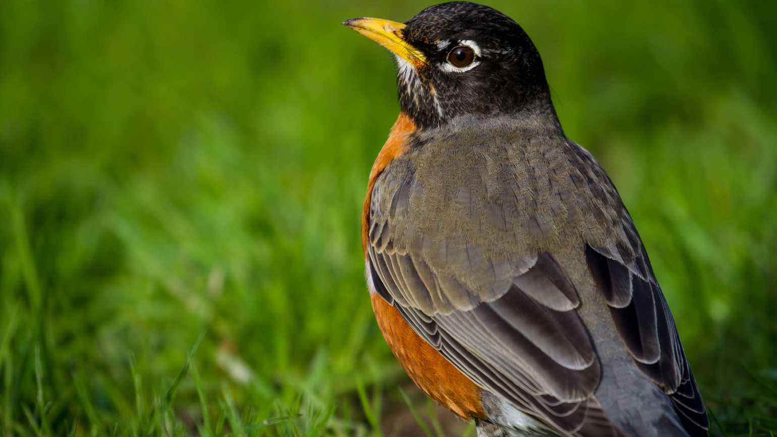 A robin in the grass in a park in Seattle