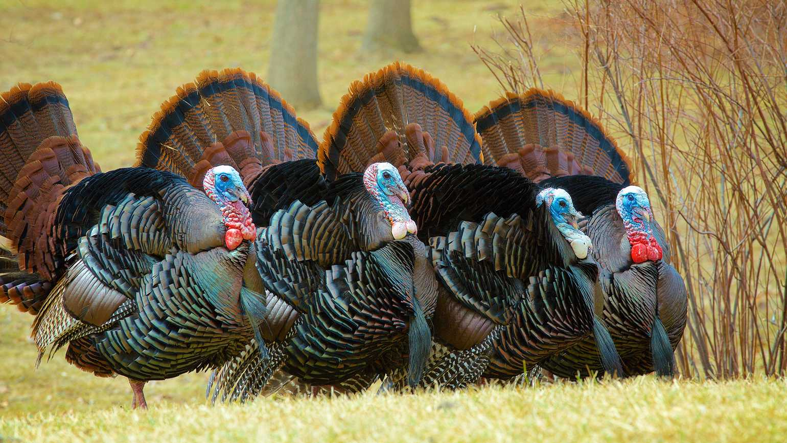 A flock of four turkeys in a row with their tail feathers fully spread