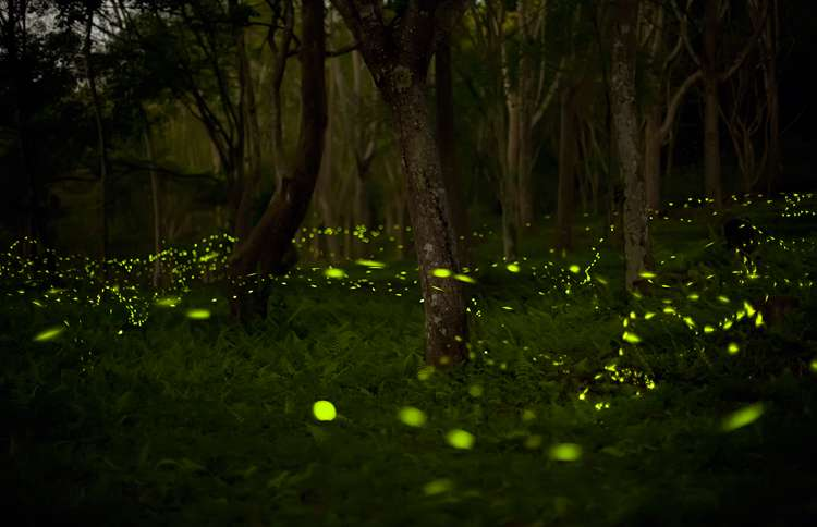A wooded field filled with fireflies aglow.