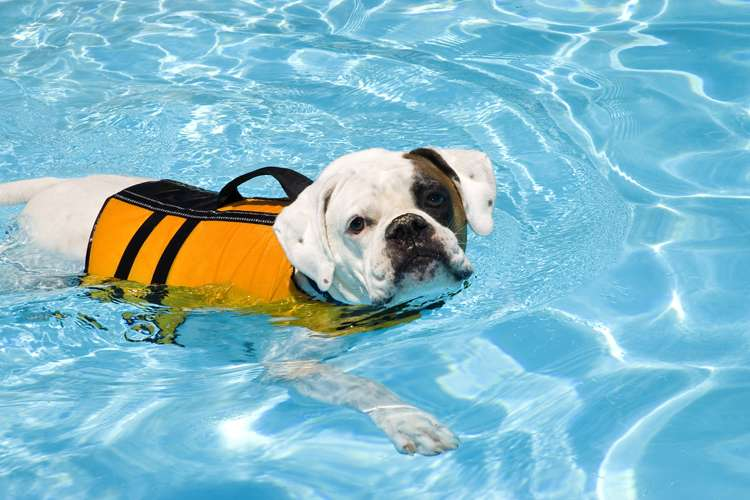 dog in a pool with a doggie life vest