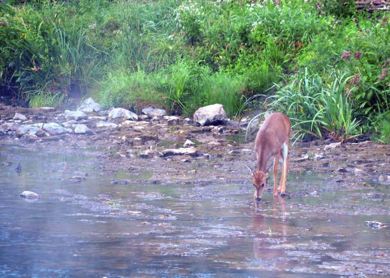 A doe drinks from a river