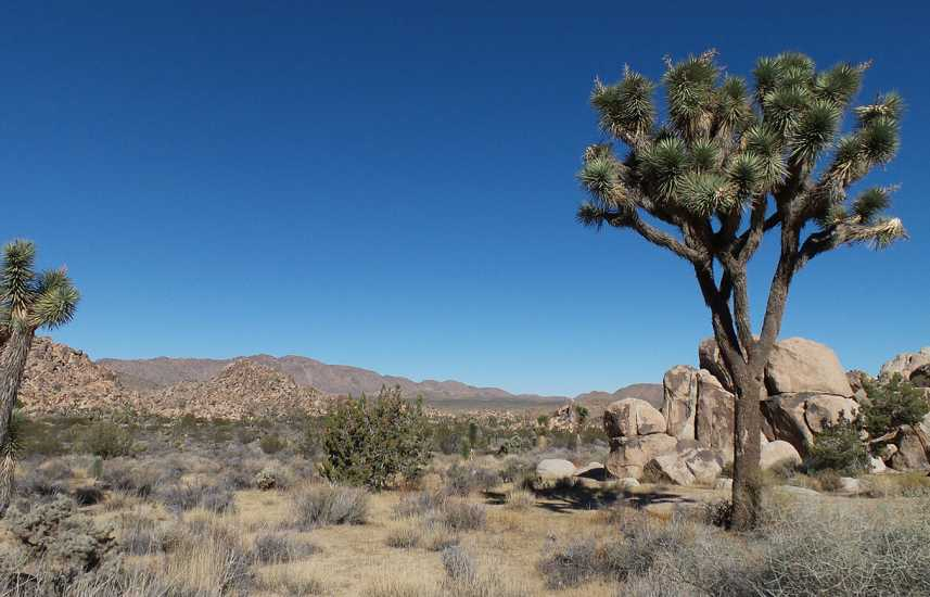 These are the uniquely beautiful trees for whichJoshua Tree National Parkis named.