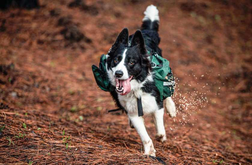 A trained border collie, runs through a forest devastated by massive fire, while sowing tree seeds