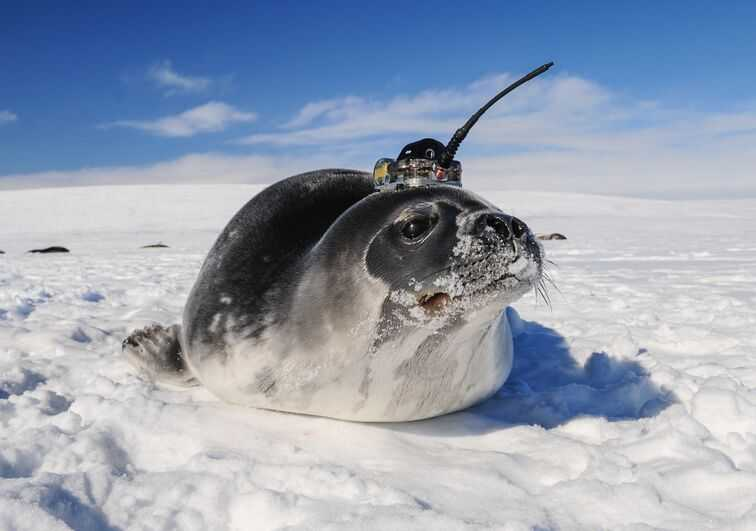 Weddell seal carrying a CTD (conductivity-temperature-depth) tag