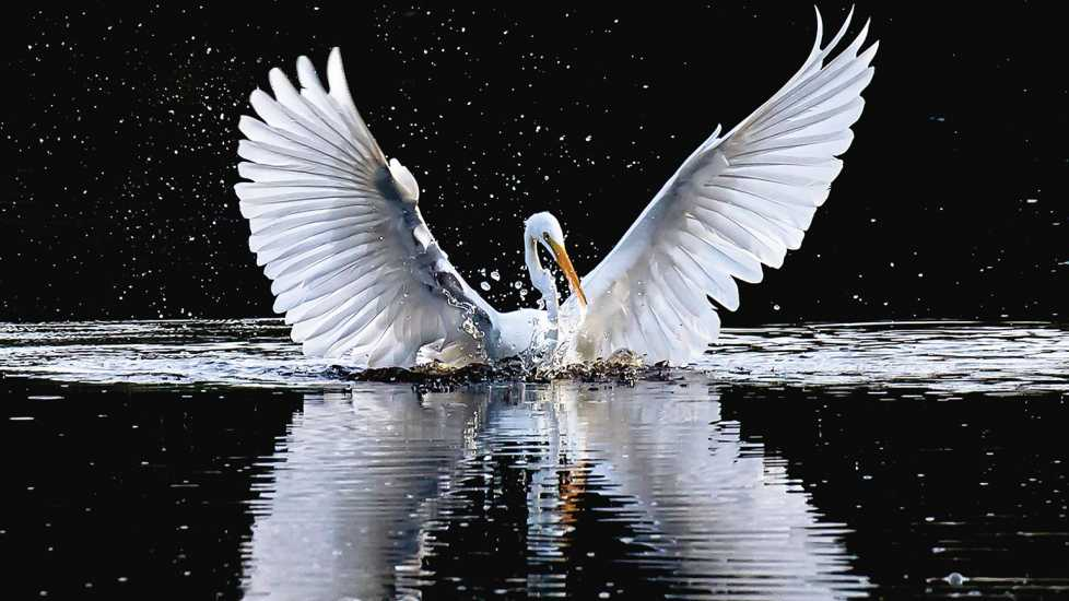 An angelic egret on the water with its wings fully spread