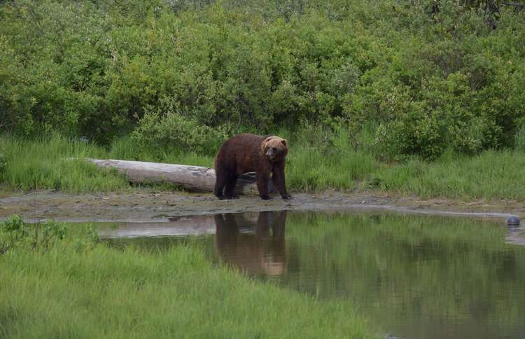 Brown bear drinking at a lake in Alaska Wildlife Conservation Center