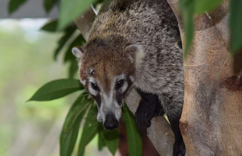 Coati sitting in a tree on the Papagayo Peninsula at the Andaz Resort in Guanacaste, Costa Rica