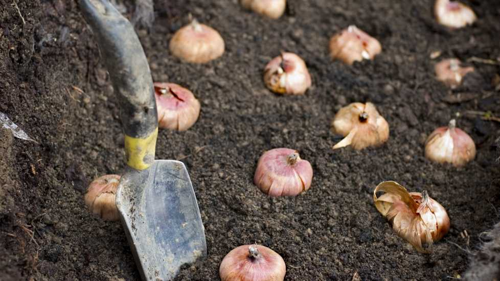 Flower bulbs being planted in good soil (Getty)