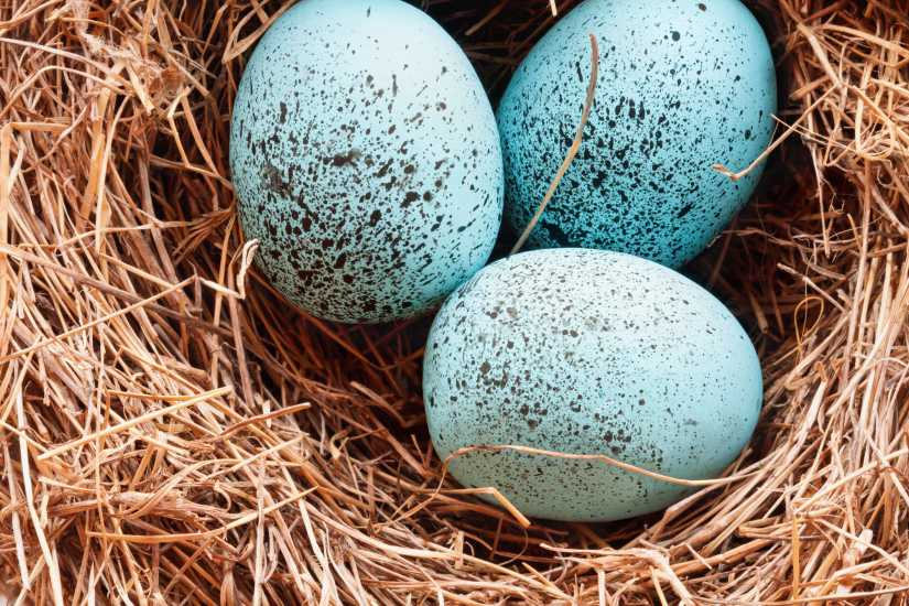 Three blue eggs in a nest; Getty Images