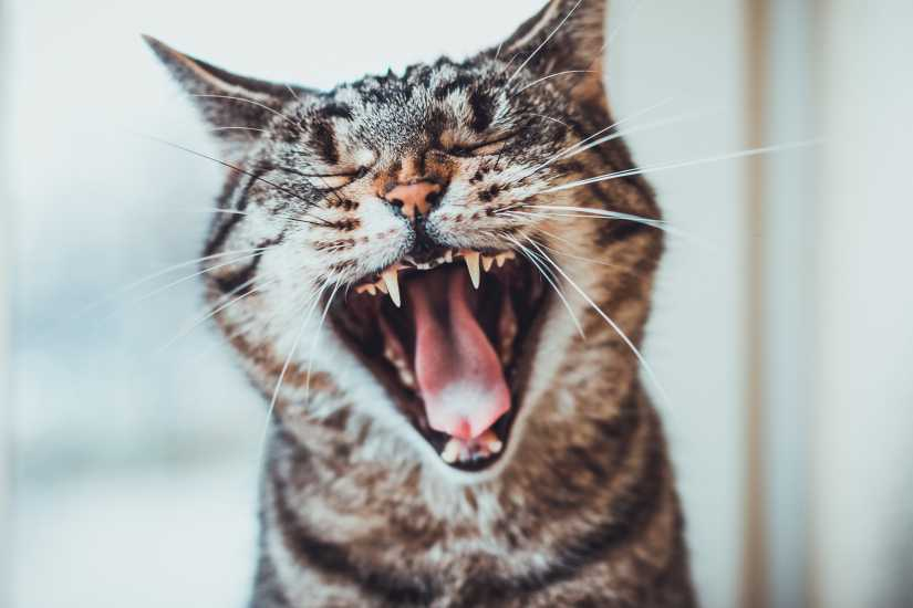 Cat meowing