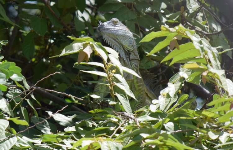 Green Iguana camouflages on a tree near the Rio Tempisque in Nicoya, Guanacaste, Costa Rica