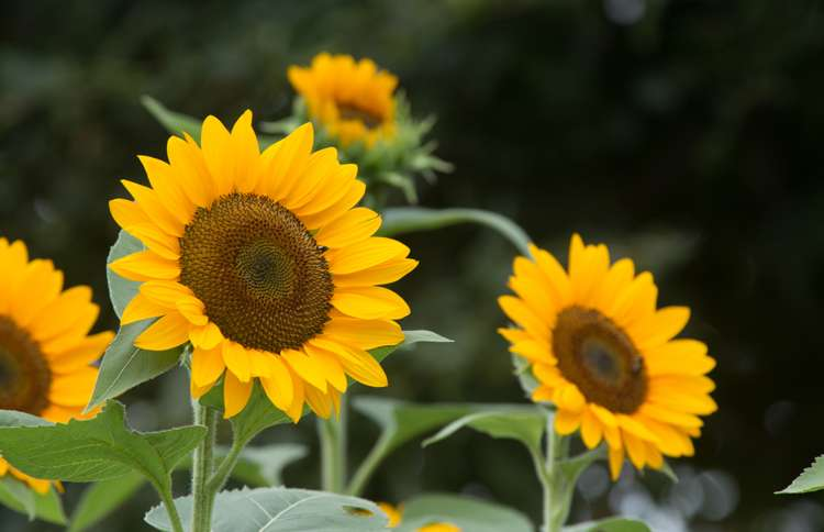sunflowers lift their heads to the sun, representing the hope and future God has for us in Jeremiah 29:11