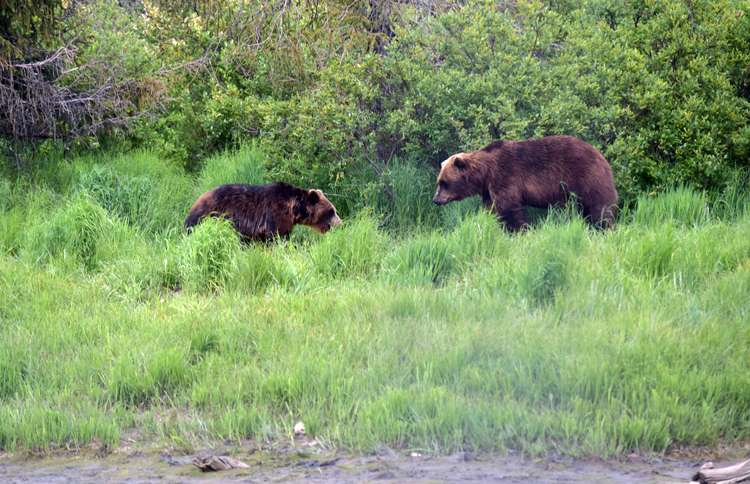 Mom and baby brown bear in Alaska