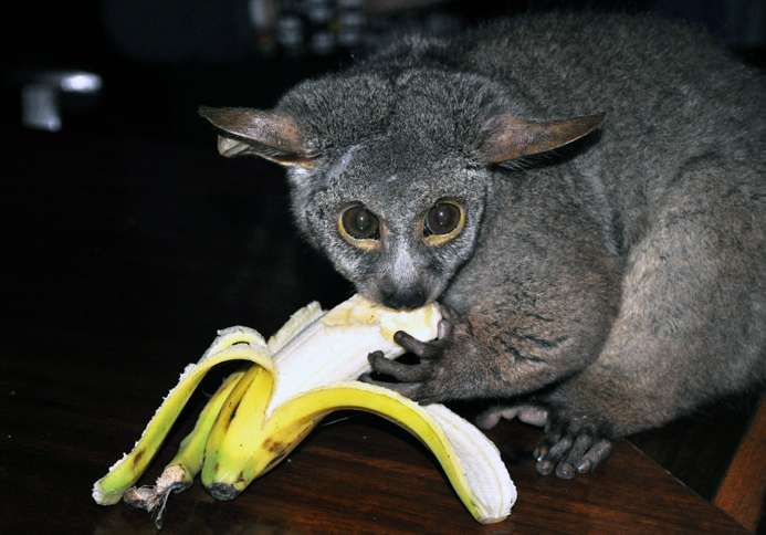 Guideposts: George, an adorable, hungry, bushbaby who resides at Thula Thula