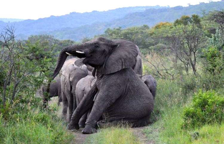 Guideposts: The elephants Lawrence rescued pause on a path at his game reserve
