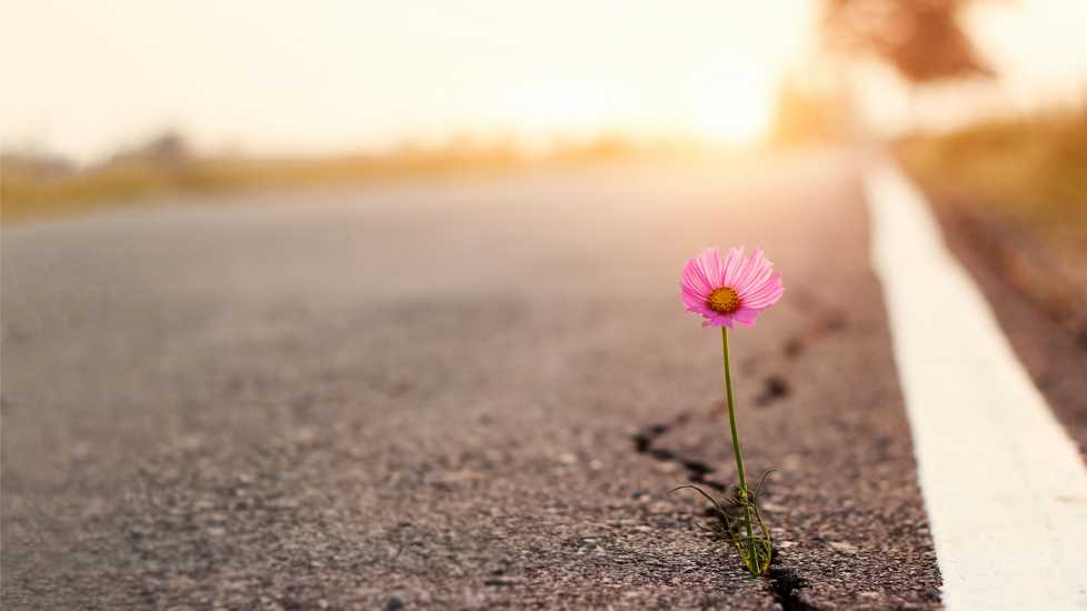 Pink flower growing on cracked street; Getty Images