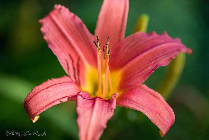 Guideposts: A lovely Day Lily captured by photographer Judy Royal Glenn
