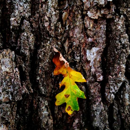 Guideposts: Glowing in its fall colors, a fallen leaf hangs suspended agains the textured bark of That Tree.