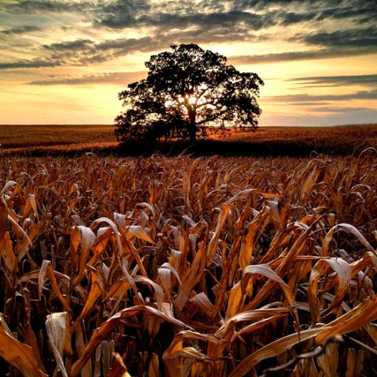 Guideposts: One last sunset photo before the harvest,  with corn still standing in the field