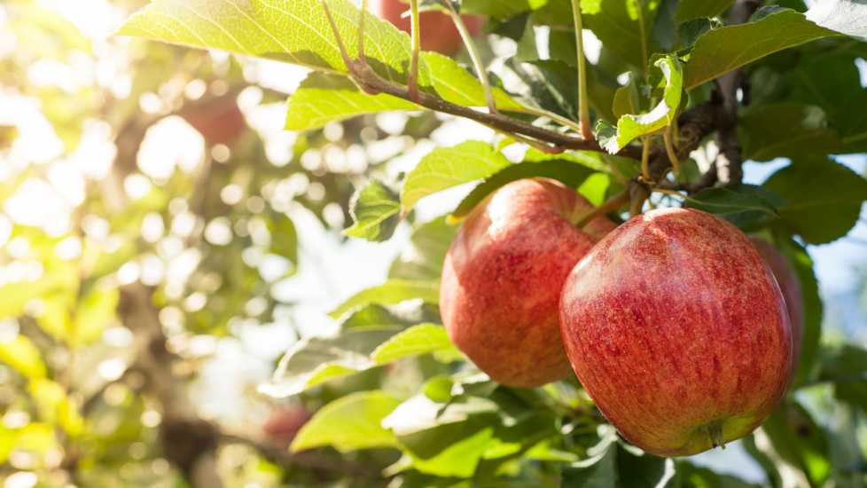 Two red apples in a tree; Getty Images