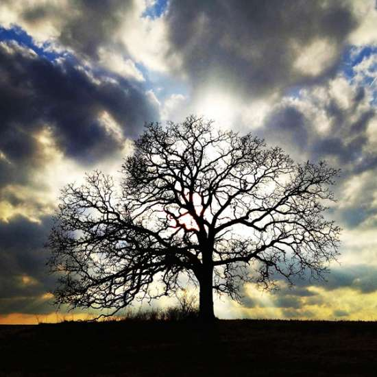Guideposts: The old Bur Oak is silhouetted by the setting sun