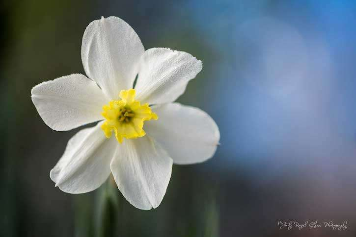 Guideposts: A white Narcissus daffodil captured by photographer Judy Royal Glenn