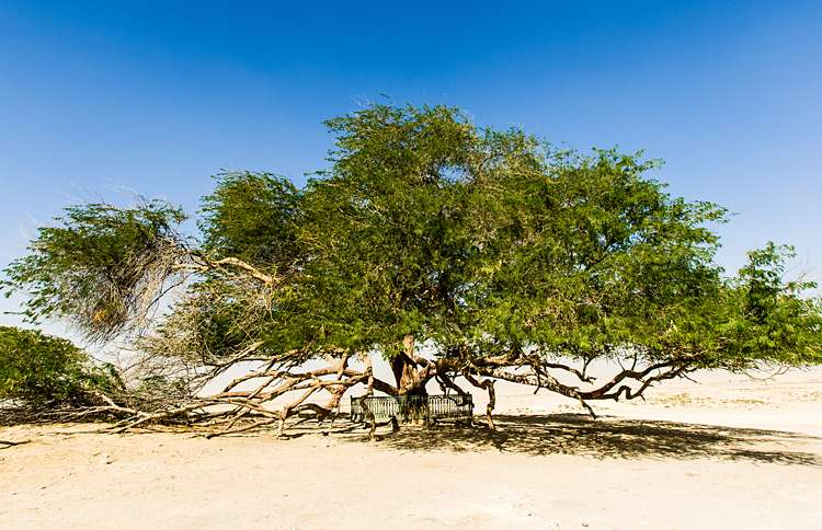 Guideposts: This nearly 400-year-old tree, the only tree of its kind for miles and miles, makes its sandy home in the middle of the dessert in Bahrain.