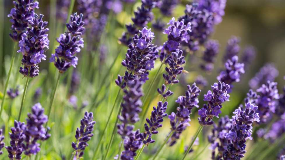 Garden with flourishing lavender; Getty Images