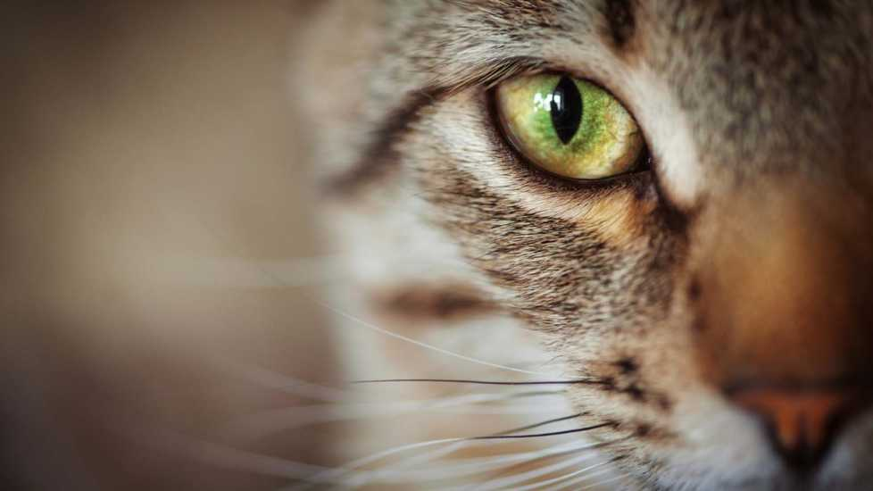 A close up of a cat's eye; Getty Images