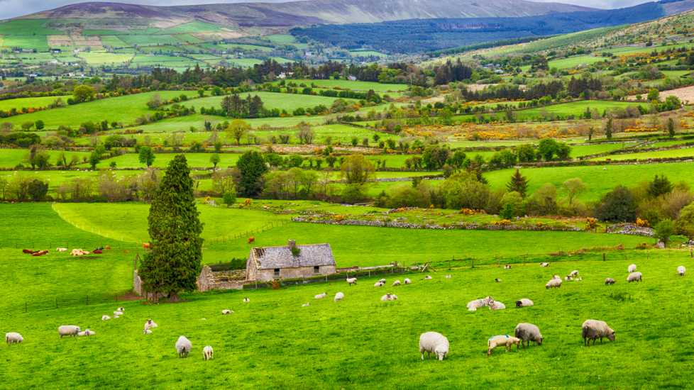 Green pasture scene with sheep in Ireland