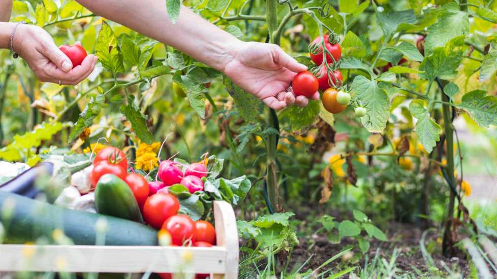 Picking tomatoes from a vegetable garden; Getty Images