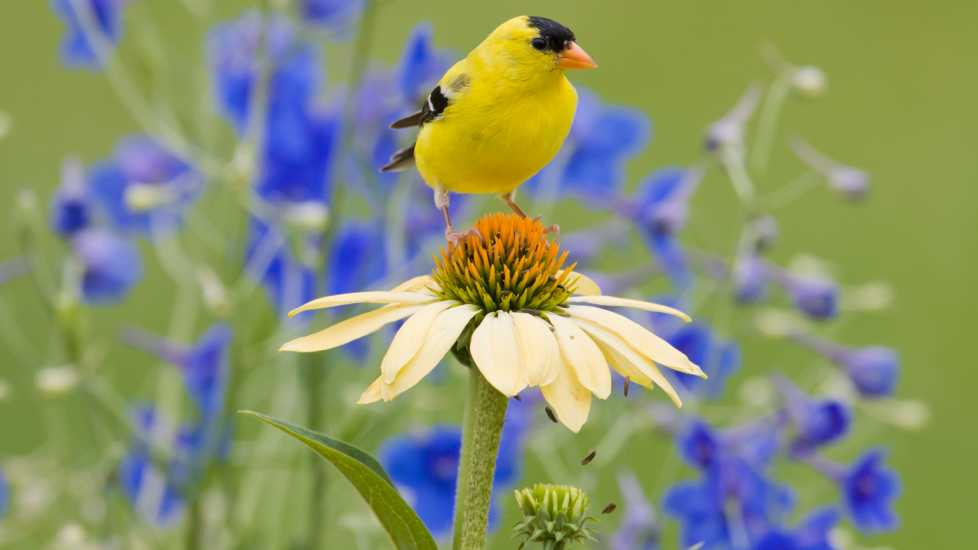 A yellow bird perched on a daisy.