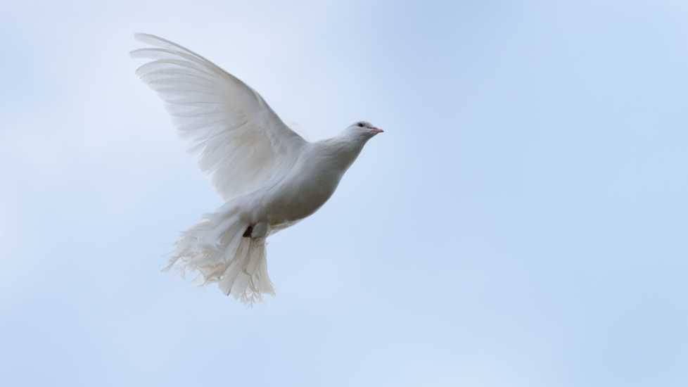 A photo of a dove in mid flight.