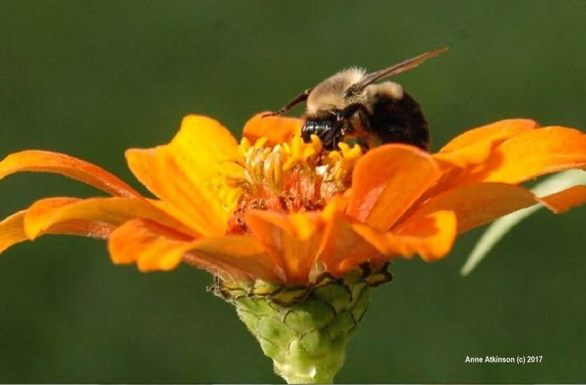 A bumble bee on a yellow flower