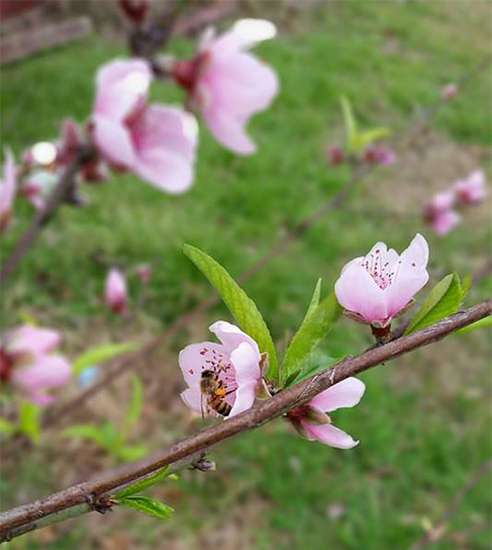 Pink blossoms serve as decorations on a tree branch