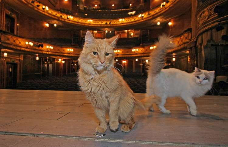Back in the fall of 2009, a longhaired orange cat by the name of Jasper had his theatrical debut at the ripe old age of fourteen when Breakfast at Tiffany's played at the Theatre Royal Haymarket in London.