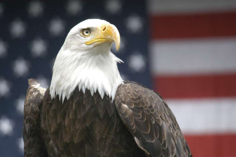 Bald Eagle with an American flag