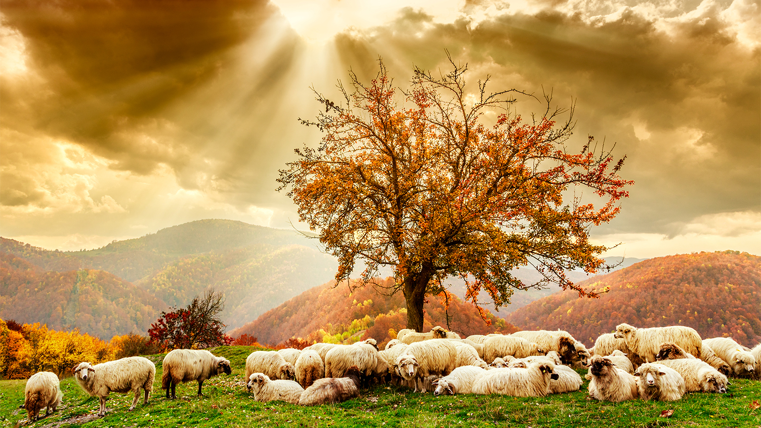 A flock of sheep in a sun-drenched meadow