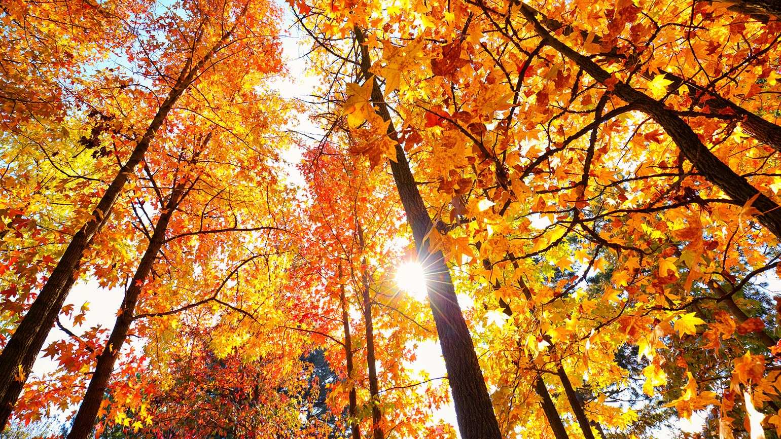 Looking skyward through trees filled with colorful autumnal foliage
