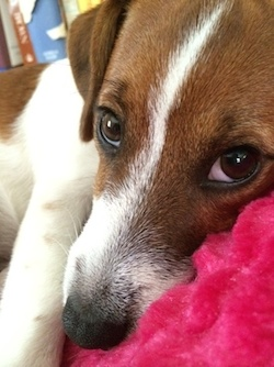 Archie, a Jack Russell Terrier, mades bedroom eyes.